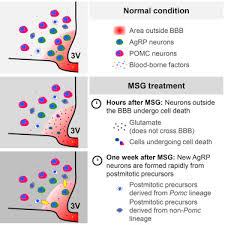 Blood Brain Barrier Anatomy Acute Lesioning And Rapid Repair Of Hypothalamic Neurons Outside