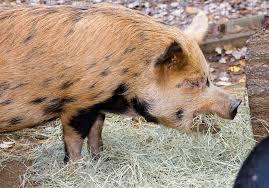 kunekune pig zoo atlanta
