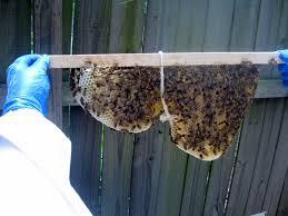 linda u0027s bees checking on the top bar hive