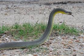 greenish grey snake free here