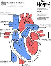 25 heart diagram ideas diagram heart