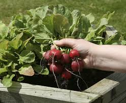 growing radishes in the home vegetable garden