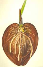 is a coconut a fruit nut or seed everyday mysteries fun