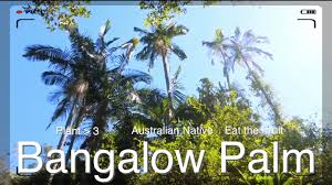 australian native shade plants bangalow palm or king palm eat the fruit of this australian