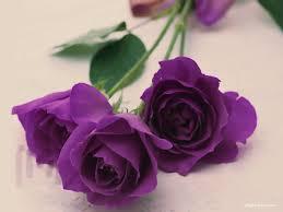 purple roses purple roses wallpaper 1024x768 4941