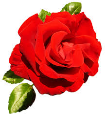 roses for valentines day clipart of day roses