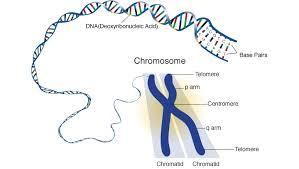 basics of chromosomes genetics pinterest php genetics and