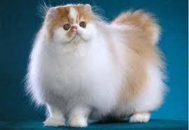 Sho Kucing Anti Jamur kucing longhair cat kucing ras g9