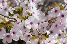 prunus the flowering cherry