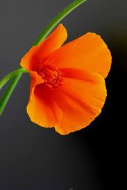 516 best california poppies images on pinterest california poppy