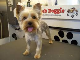 yorkie teddy bear face haircut club doggie mobile grooming salon before and after photo gallery