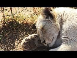 imagenes de leones salvajes gratis leones blancos nacidos salvajes con todo en contra vídeos