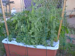 Eggplant In Container Garden Gardening Indian Lifestyle Lifestyle Guide Better Lifestyle