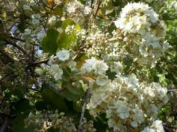 South African Wild Flowers - indigneous white flowering trees for a south african moon garden