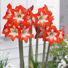 amaryllis flowers amaryllis eyecatcher white flower farm
