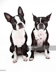 two boston terrier dogs sitting next to each othe stock photo