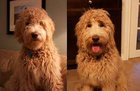 how to cut a goldendoodles hair goldendoodle haircuts hairstyles ideas