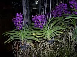 vanda orchid orchids asia orchids collectibles plants vanilla spices resource