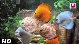 best multi colour aquarium fish collection of 2016 zoology