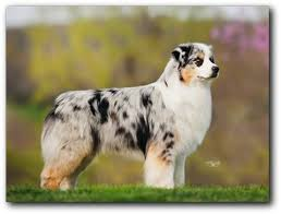 mdr1 australian shepherd calais u0026 carolina australian shepherds hall of fame breeders