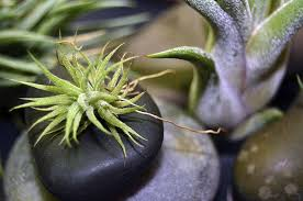 plants native to south america airplant tillandsia indoor plants expert