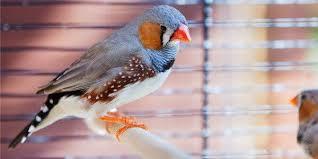 uccelli in gabbia l italia non 礙 amica degli animali record di uccellini in