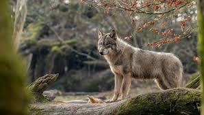 a gray she wolf with a wolf stands on a mossy tree wallpapers and