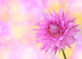 pink dahlia flower wallpaper wall mural by loveabode com fl108321872 pink dahlia 2p