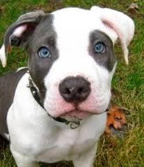 american pitbull terrier blue best 10 puppy pitbulls ideas on pinterest blue pit puppies
