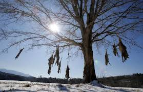 coyote carcasses strung up from roadside tree in virginia wtop