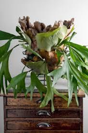 54 best ferns images on pinterest staghorn fern platycerium and