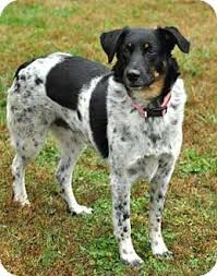 australian shepherd cattle dog mix bambi adopted dog salem nh english shepherd australian