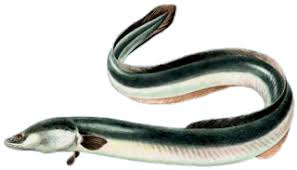 cuisiner une anguille recettes2poisson com les recettes de cuisine de poisson d anguille