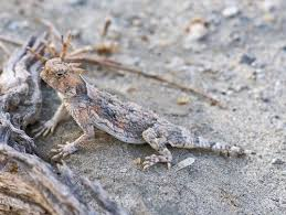 Horny Toad Meme - desert horned lizard facts and pictures reptile fact