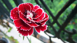 Red Carnations Red Gorgeous Red Carnations Stock Photo Flowers Stock Photo Free
