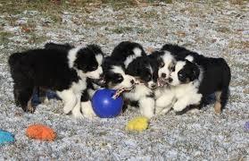 australian shepherd female names most popular puppy names of 2014 jolly pets
