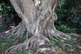 tree base with thick roots free stock photo domain pictures
