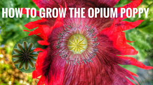 how to grow the opium poppy youtube
