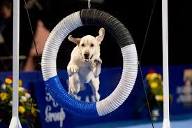 Dog Show Thanksgiving Day National Dog Show Broadcast Nationwide Thanksgiving Day