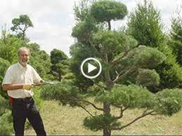 Topiary Cloud Trees - how to prune and maintain your topiary tree youtube