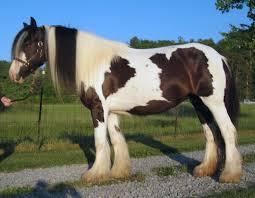 gypsy horse wikipedia