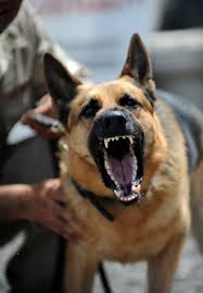 belgian malinois k9 attack photos u0027dogs of war u0027 lackland air force base military working