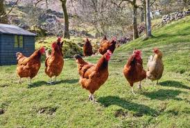 Backyard Poultry For Sale by Best Chicken Breeds For Backyard Flocks Homesteading And