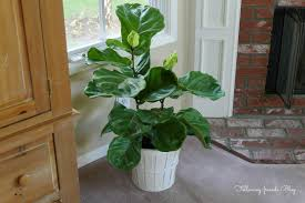 home accessories classic bookshelves with fiddle leaf fig tree