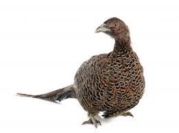 cuisiner une poule faisane poule faisane viandes volailles et charcuteries