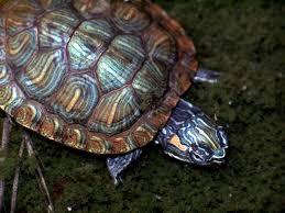 Ringed Map Turtle Habitat Next Door Nature