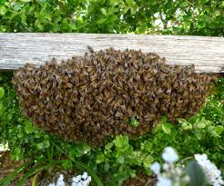 collecting a bee swarm 6 steps with pictures