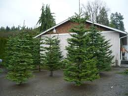 noble fir christmas tree christmas tree farm prep a timeline of tannenbaums