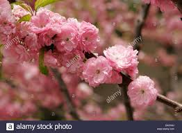 tree with pink flowers pink flowers on the fruit tree in blossom beijing china stock