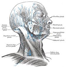 Anatomy The Human Body Viii The Lymphatic System 3 The Lymphatics Of The Head Face